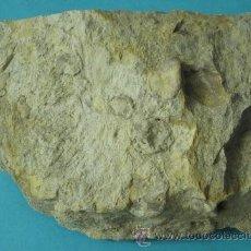 Coleccionismo de fósiles: PIEDRA FOSILÍFERA CON FÓSILES POR CLASIFICAR. 14 X 10 CM. PESO 1400 GRAMOS. Lote 39361684