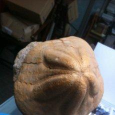 Coleccionismo de fósiles: ERIZOS , MAGNIFICO CLYPEASTER CRASSICOSTATUS ALTUS EUROPA. Lote 42669642