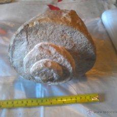 Coleccionismo de fósiles: FOSIL NATICA 20CM DIAMETRO. Lote 43201870