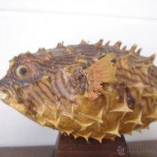Coleccionismo de fósiles: PEZ GLOBO TAXIDERMIA. Lote 43236438