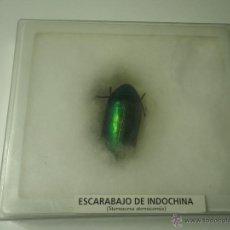 Coleccionismo de fósiles: ESCARABAJO DE INDOCHINA. Lote 43403425