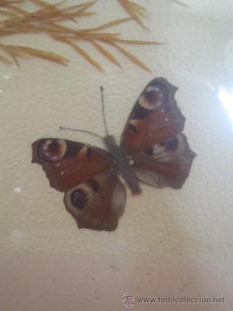 Coleccionismo de fósiles: Composición realizada con mariposa disecada. Enmarcada. - Foto 2 - 43641666