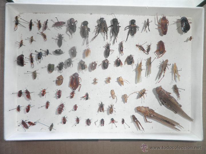 Coleccionismo de fósiles: COLECCION DE COLEOCTEROS ESCARABAJOS MARIQUITAS SALTAMONTES - Foto 2 - 44456425