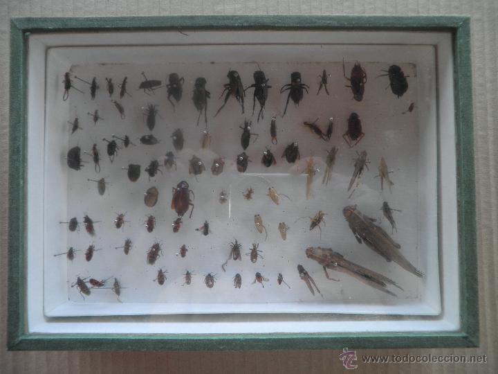 Coleccionismo de fósiles: COLECCION DE COLEOCTEROS ESCARABAJOS MARIQUITAS SALTAMONTES - Foto 8 - 44456425