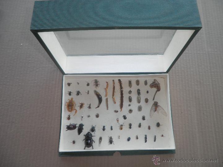 COLECCION DE COLEOCTEROS ESCARABAJOS CIEMPIES (Coleccionismo - Fósiles)