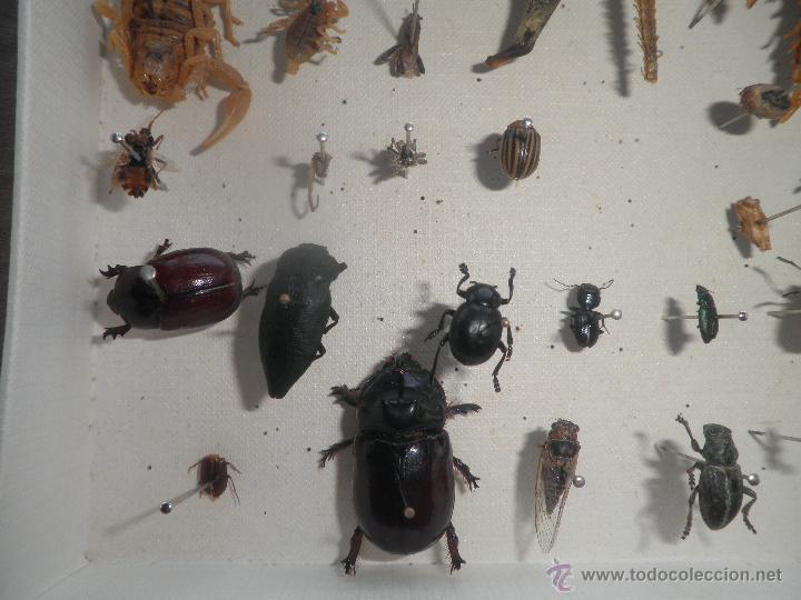 Coleccionismo de fósiles: COLECCION DE COLEOCTEROS ESCARABAJOS CIEMPIES - Foto 3 - 44456551