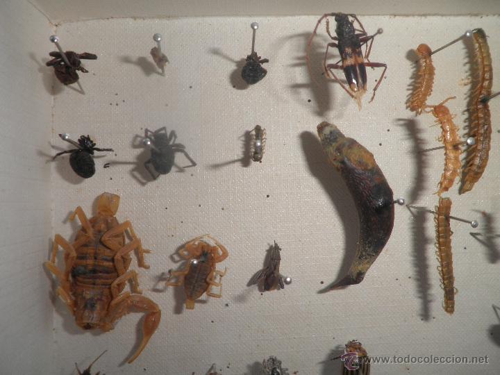Coleccionismo de fósiles: COLECCION DE COLEOCTEROS ESCARABAJOS CIEMPIES - Foto 6 - 44456551