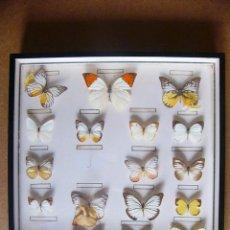 Coleccionismo de fósiles: CUADRO O VITRINA DE 19 MARIPOSAS DISECADAS DE ANTIGUO COLECCIONISTA ENTOMOLOGO O TAXIDERMISTA. Lote 44930257