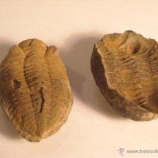 Coleccionismo de fósiles: TRILOBITES PHACOS CAMBRICO MARCA Y CONTRAMARCA CIERRA PERFECTO. Lote 46513463