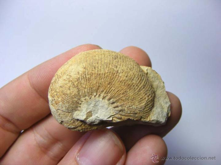 FOSILES: OLCOSTEPHANUS DRUMENSIS - CRETACICO INFERIOR - CIUDAD REAL - FOSIL 31 (Coleccionismo - Fósiles)