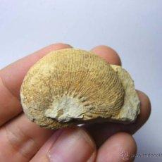Coleccionismo de fósiles: FOSILES: OLCOSTEPHANUS DRUMENSIS - CRETACICO INFERIOR - CIUDAD REAL - FOSIL 31. Lote 50192674