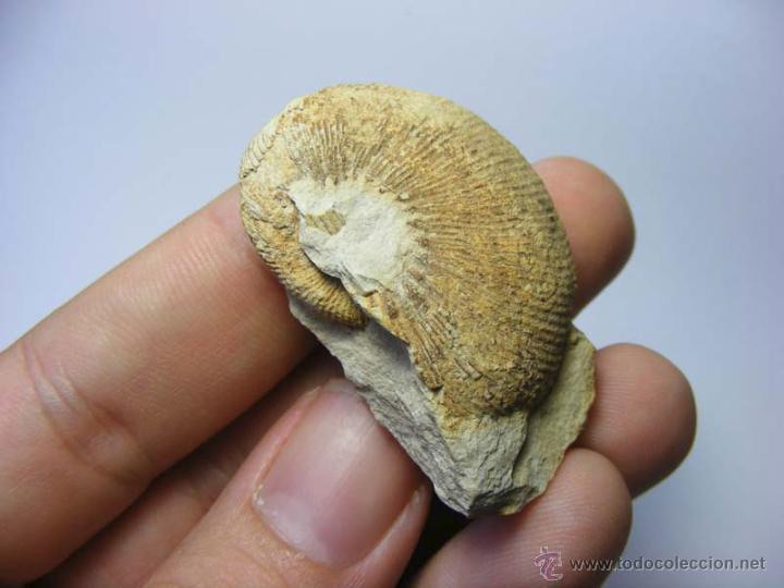 Coleccionismo de fósiles: FOSILES: OLCOSTEPHANUS DRUMENSIS - CRETACICO INFERIOR - CIUDAD REAL - FOSIL 31 - Foto 6 - 50192674