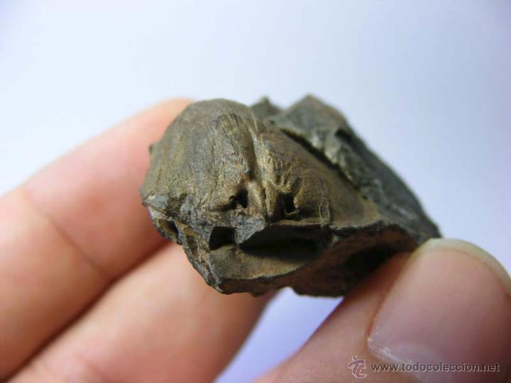 Coleccionismo de fósiles: FOSILES: APOLLONORTHIS - ORDOVICICO - CIUDAD REAL - FOSIL 16 - Foto 6 - 50201708