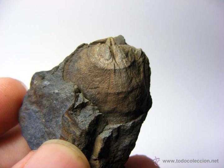 Coleccionismo de fósiles: FOSILES: APOLLONORTHIS - ORDOVICICO - CIUDAD REAL - FOSIL 16 - Foto 7 - 50201708