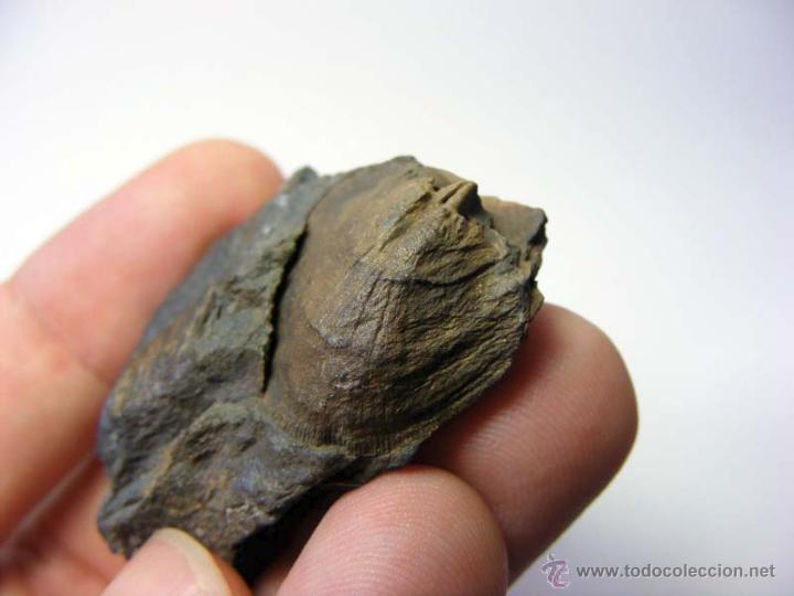 Coleccionismo de fósiles: FOSILES: APOLLONORTHIS - ORDOVICICO - CIUDAD REAL - FOSIL 16 - Foto 8 - 50201708