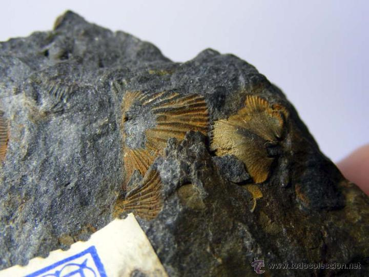 Coleccionismo de fósiles: FOSILES: APOLLONORTHIS - ORDOVICICO - CIUDAD REAL - FOSIL 15 - Foto 7 - 50201722