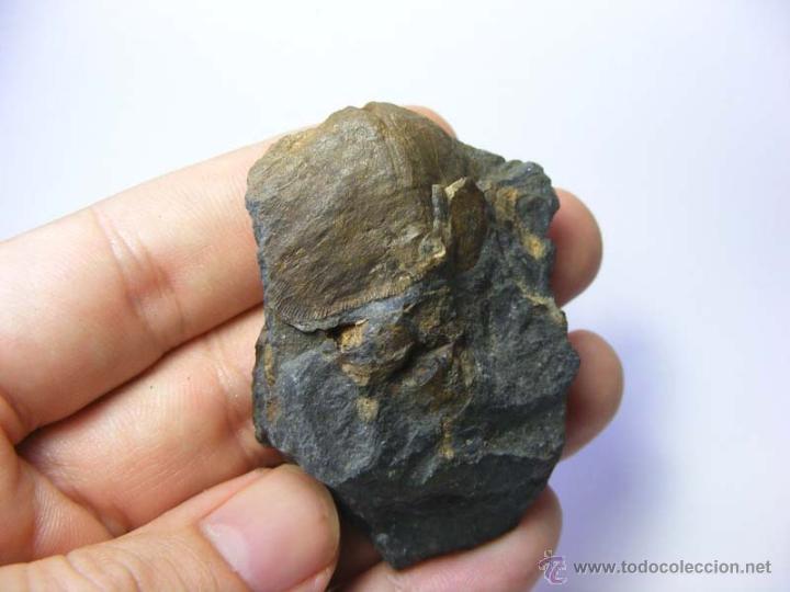 Coleccionismo de fósiles: FÓSILES: APOLLONORTHIS - ORDOVICICO - CIUDAD REAL - FÓSIL 14 - Foto 2 - 50201733