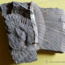 Coleccionismo de fósiles: FOSIL. Lote 50474826