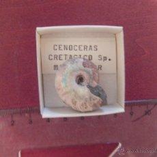 Coleccionismo de fósiles: CENOCERAS. Lote 50502243