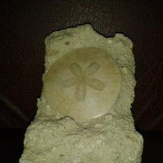 Coleccionismo de fósiles: ESPECTACULAR SCUTELLA FAUJASI, ERIZO DE MAR EN MATRIZ. Lote 51363461