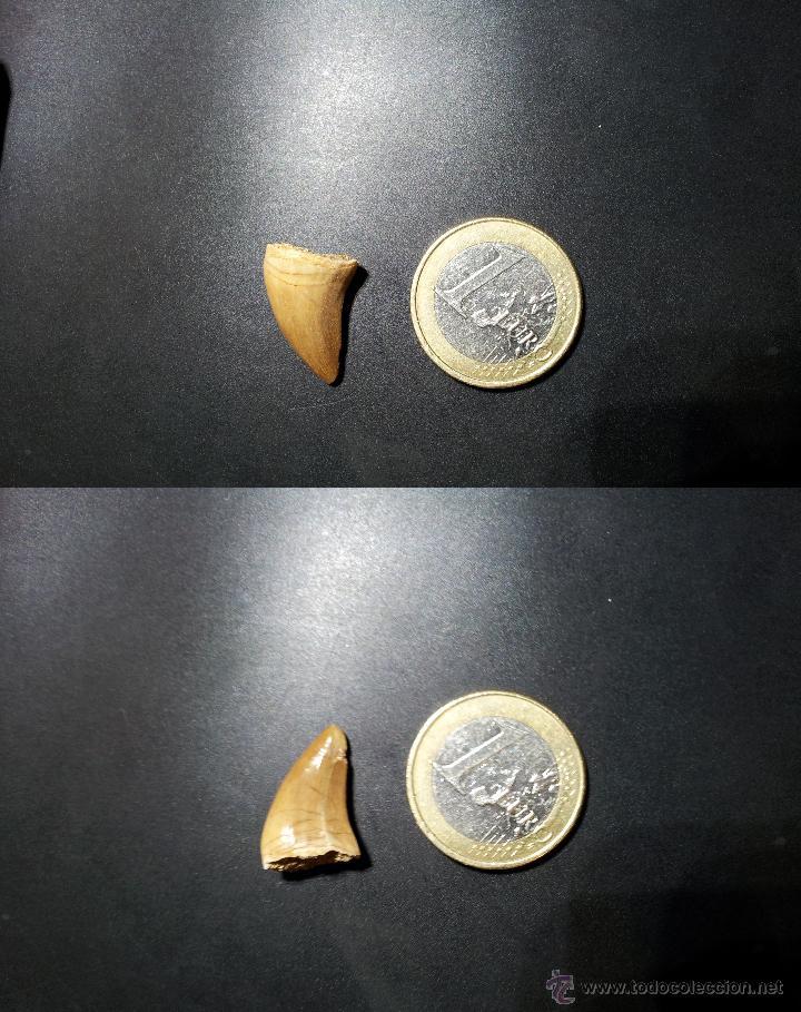 BONITO DIENTE DE MOSASAURIO FÓSIL (Coleccionismo - Fósiles)