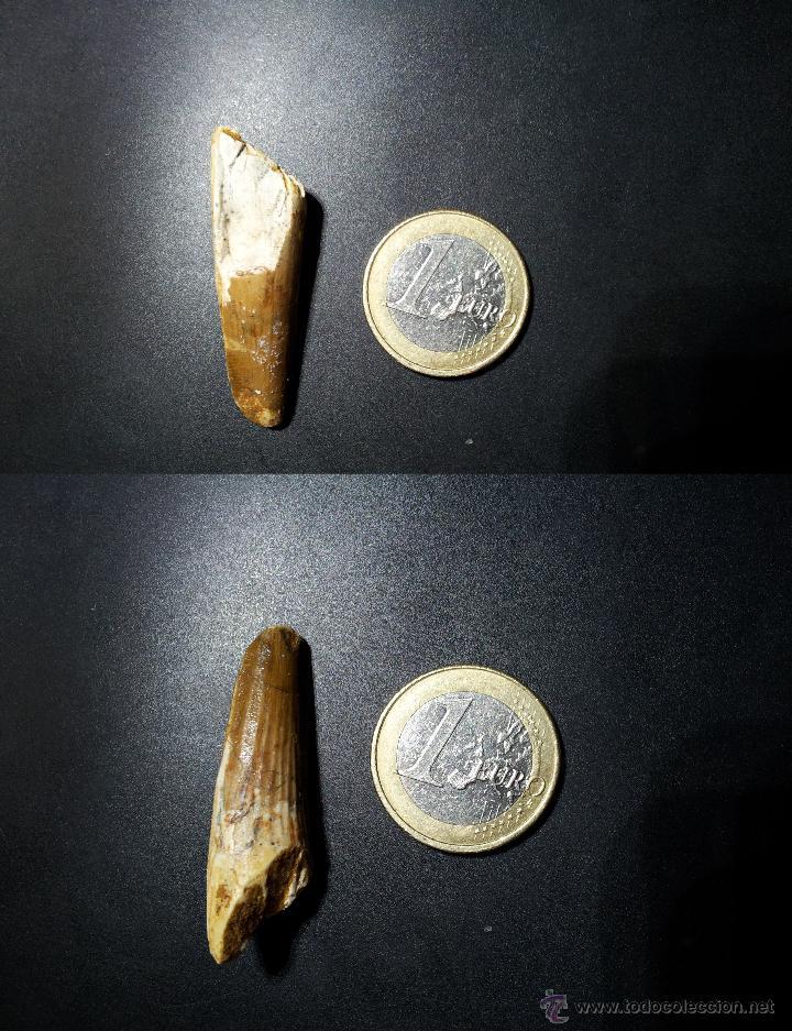 DIENTE DE ESPINOSAURIO FOSÍL (Coleccionismo - Fósiles)
