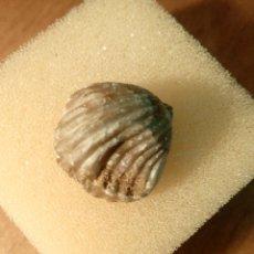 Coleccionismo de fósiles: PRECIOSO EJEMPLAR DE RHIYNCHONELLA DEL JURASICO. Lote 51769228