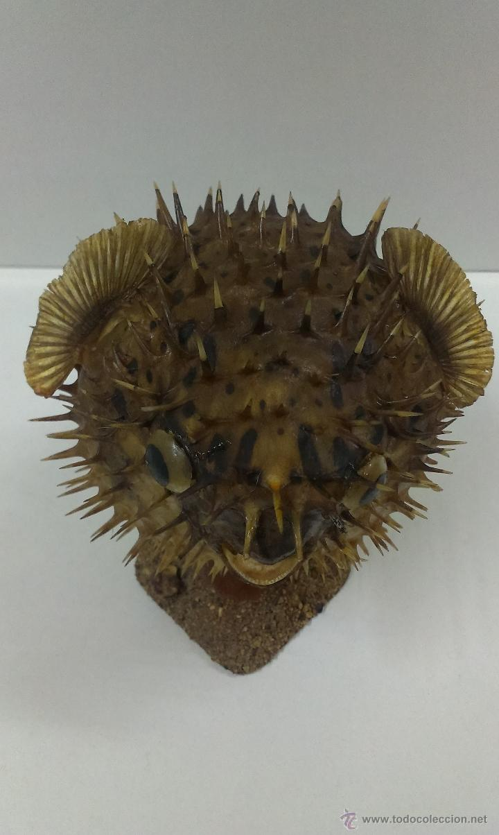 Coleccionismo de fósiles: PEZ GLOBO DISECADO - Foto 6 - 52724616