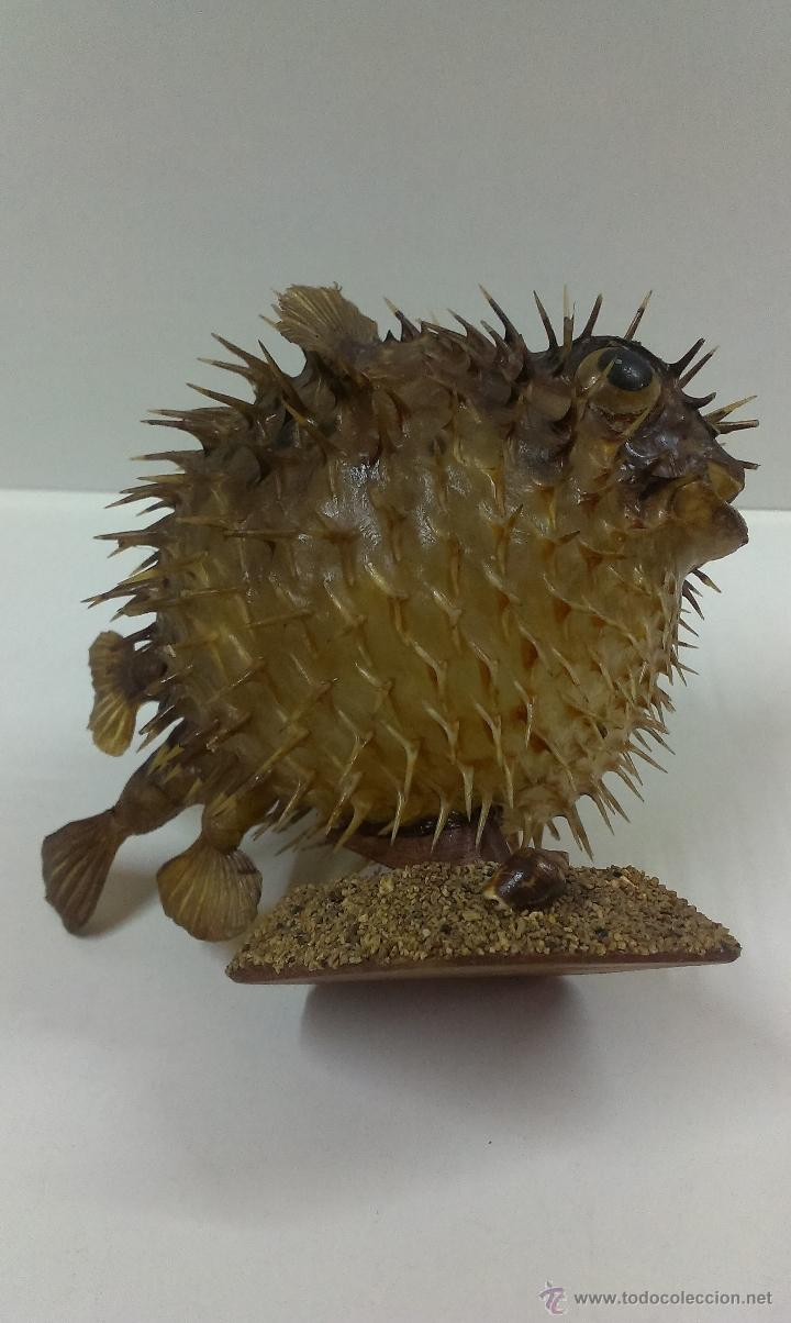 Coleccionismo de fósiles: PEZ GLOBO DISECADO - Foto 8 - 52724616