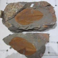 Coleccionismo de fósiles: GRAN FÓSIL TRILOBITES. 27,5 X 17 CMS.. Lote 52905323