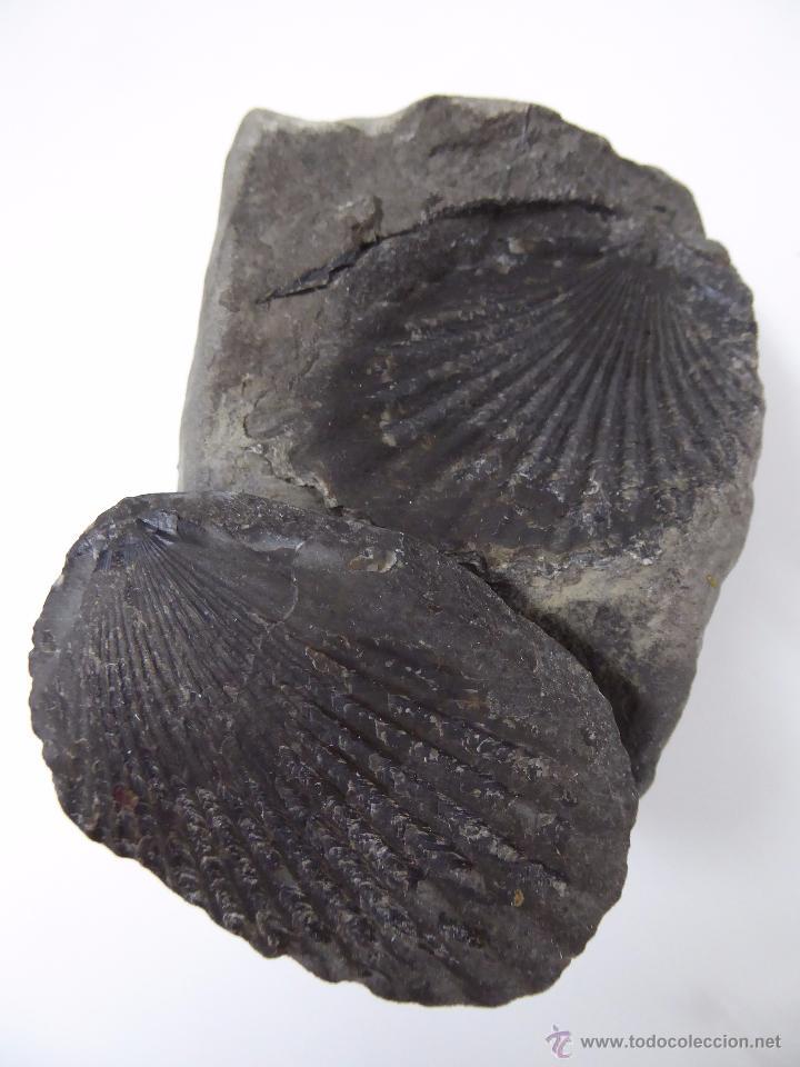FOSIL DE CONCHA - DOS PIEZAS (Coleccionismo - Fósiles)