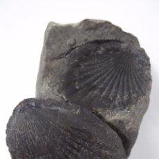 Coleccionismo de fósiles: FOSIL DE CONCHA - DOS PIEZAS. Lote 54407772