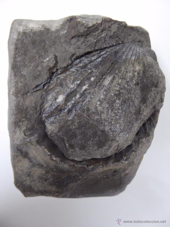 Coleccionismo de fósiles: FOSIL DE CONCHA - DOS PIEZAS - Foto 4 - 54407772