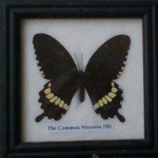 Coleccionismo de fósiles: MARIPOSAS DISECADA AUTÉNTICA ENMARCADA,COMMON MORMON. Lote 54486150