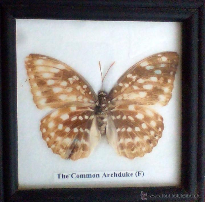 mariposa disecada auténtica enmarcada,common ar - Comprar Fósiles en ...
