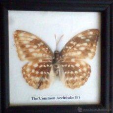 Coleccionismo de fósiles: MARIPOSA DISECADA AUTÉNTICA ENMARCADA,COMMON ARCHIDUQUE,F. Lote 54544650