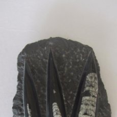 Coleccionismo de fósiles: FOSIL - ORTHOCERAS. Lote 54803507