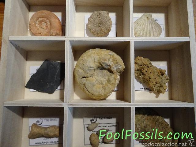 CAJA FÓSILES (Coleccionismo - Fósiles)