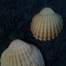 Coleccionismo de fósiles: LOTE 2 CONCHAS MARINAS . 4 Y 2,50 CMS - CATALUÑA - MAR MEDITERRÁNEO. Lote 56217924