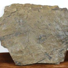 Coleccionismo de fósiles: FOSIL DE PLANTAS. PLACA DE MINERAL ROCOSO. MEDIADOS SIGLO XX. . Lote 56891786