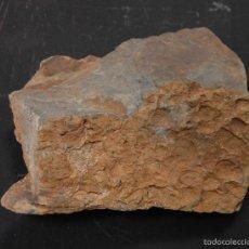 Coleccionismo de fósiles: FÓSIL BRAQUIOPODOS BONITA PLACA DE PIZARRA CON BRAQUIOPODOS DEL ORDOVÍCICO // ORÍGEN CIUDAD REAL. Lote 57550856