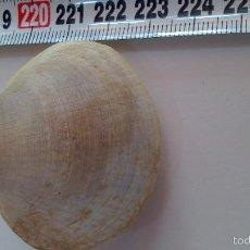 Coleccionismo de fósiles: FOSIL BIVALVO. Lote 57629869