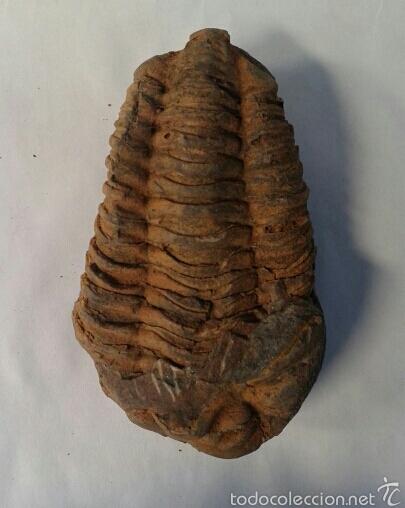 Coleccionismo de fósiles: TRILOBITES - Foto 4 - 58641339