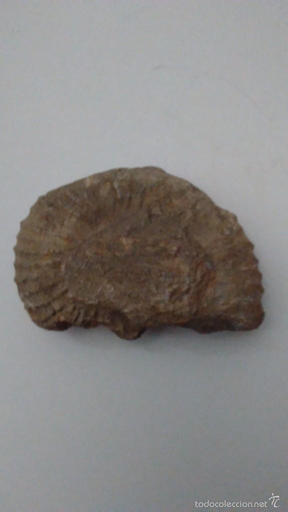 FÓSIL TRILOBITES (Coleccionismo - Fósiles)