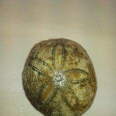 Coleccionismo de fósiles: FOSIL ECHYNOLAMPAS BURDIGALENSIS. Lote 61083291