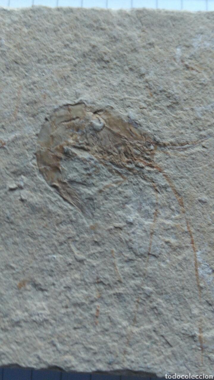GAMBA FÓSIL. (Coleccionismo - Fósiles)