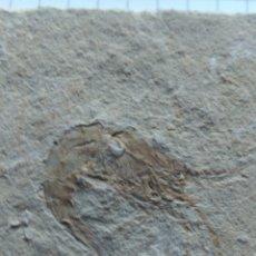Coleccionismo de fósiles: GAMBA FÓSIL.. Lote 68804267