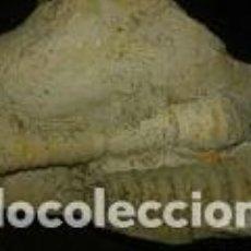 Coleccionismo de fósiles: FOSIL DE 13X8X7 CM. Lote 69710489