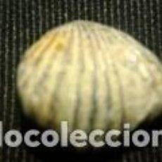 Coleccionismo de fósiles: FOSIL 2X2, 1X1, 6CM. Lote 70192729