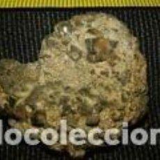 Coleccionismo de fósiles: FOSIL CARACOLA 3, 5X15. Lote 70225313